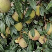 果园开放摘桃
