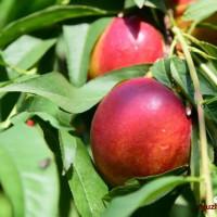 黄心大油桃自种10亩地,